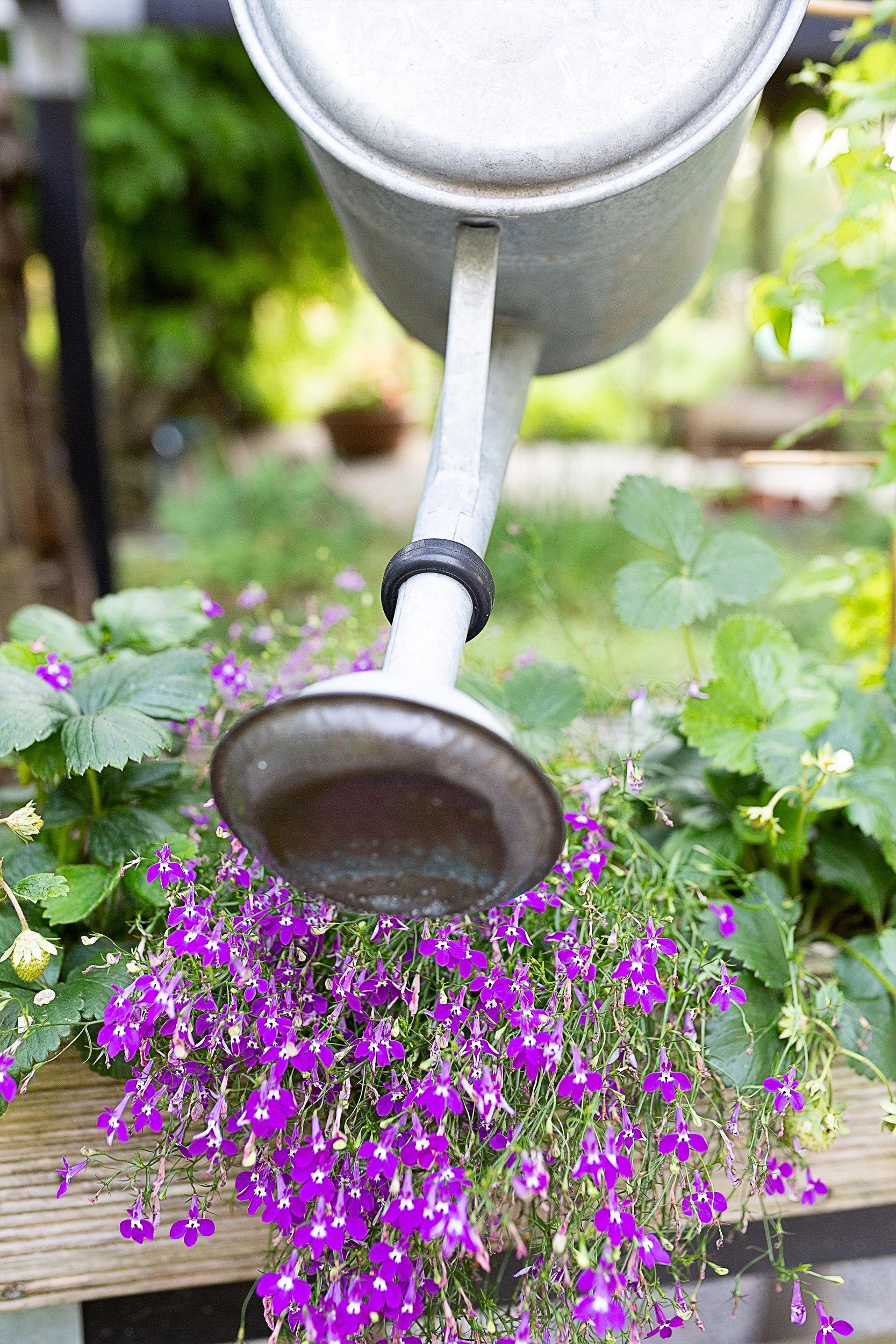 Eine Gießkanne gießt blühende Blumen aus.
