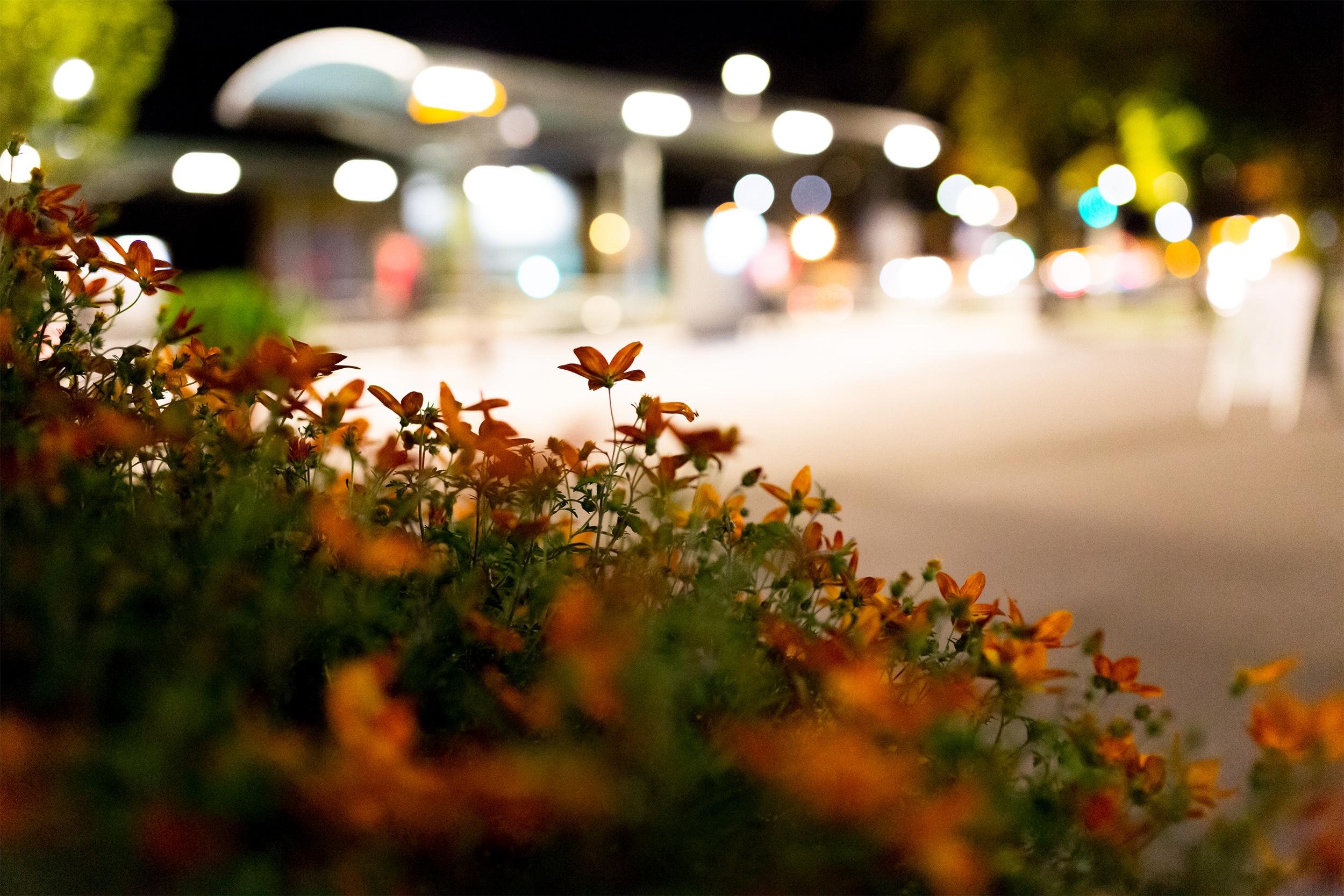 Blühender Busch mit Lichterbokeh in der Nacht bei der Wilhelma.