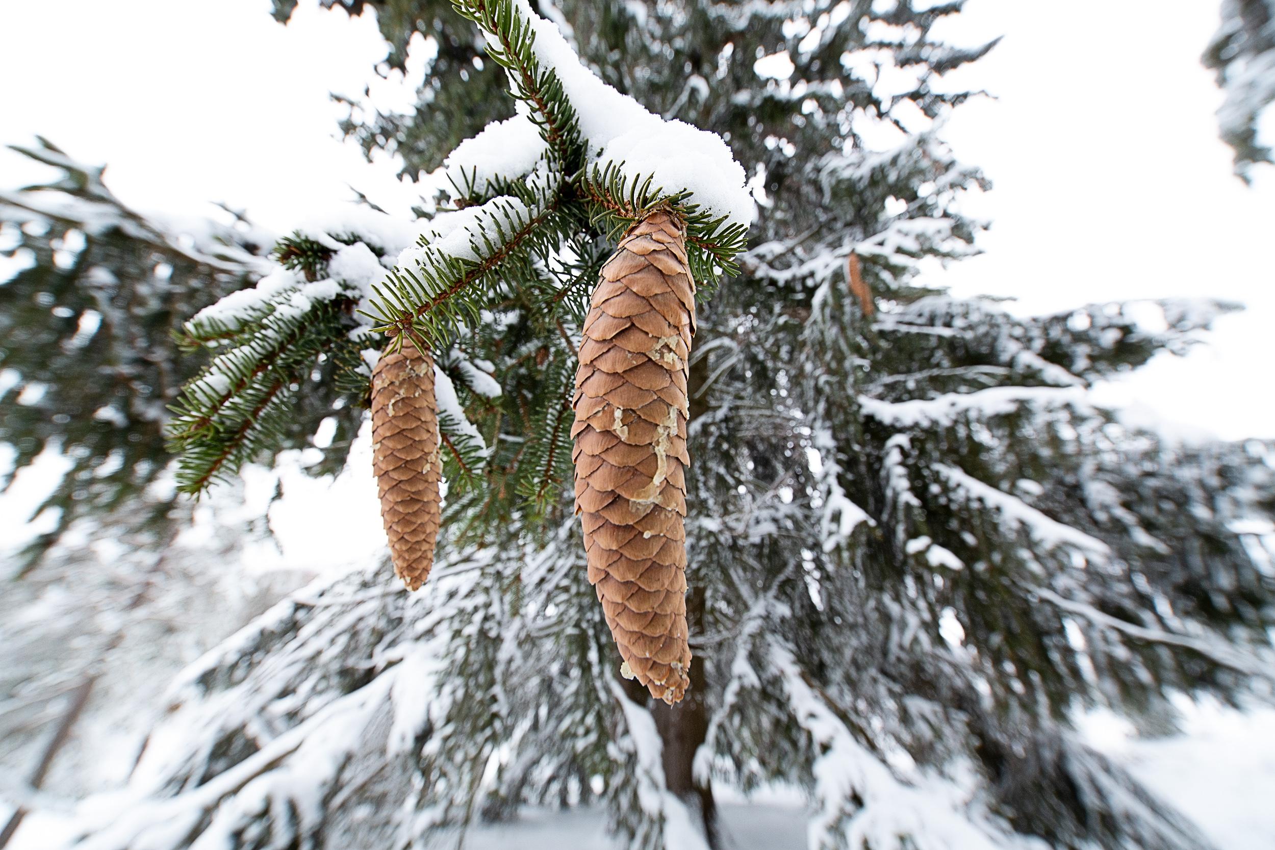 Verschneiter Tannenzapfen am Baum auf der Schwäbischen Alb.
