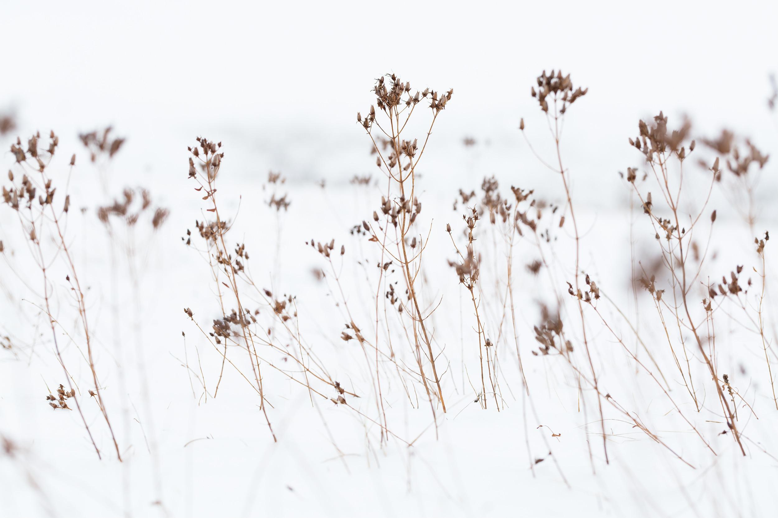 Vertrocknete Gräser im Schnee.