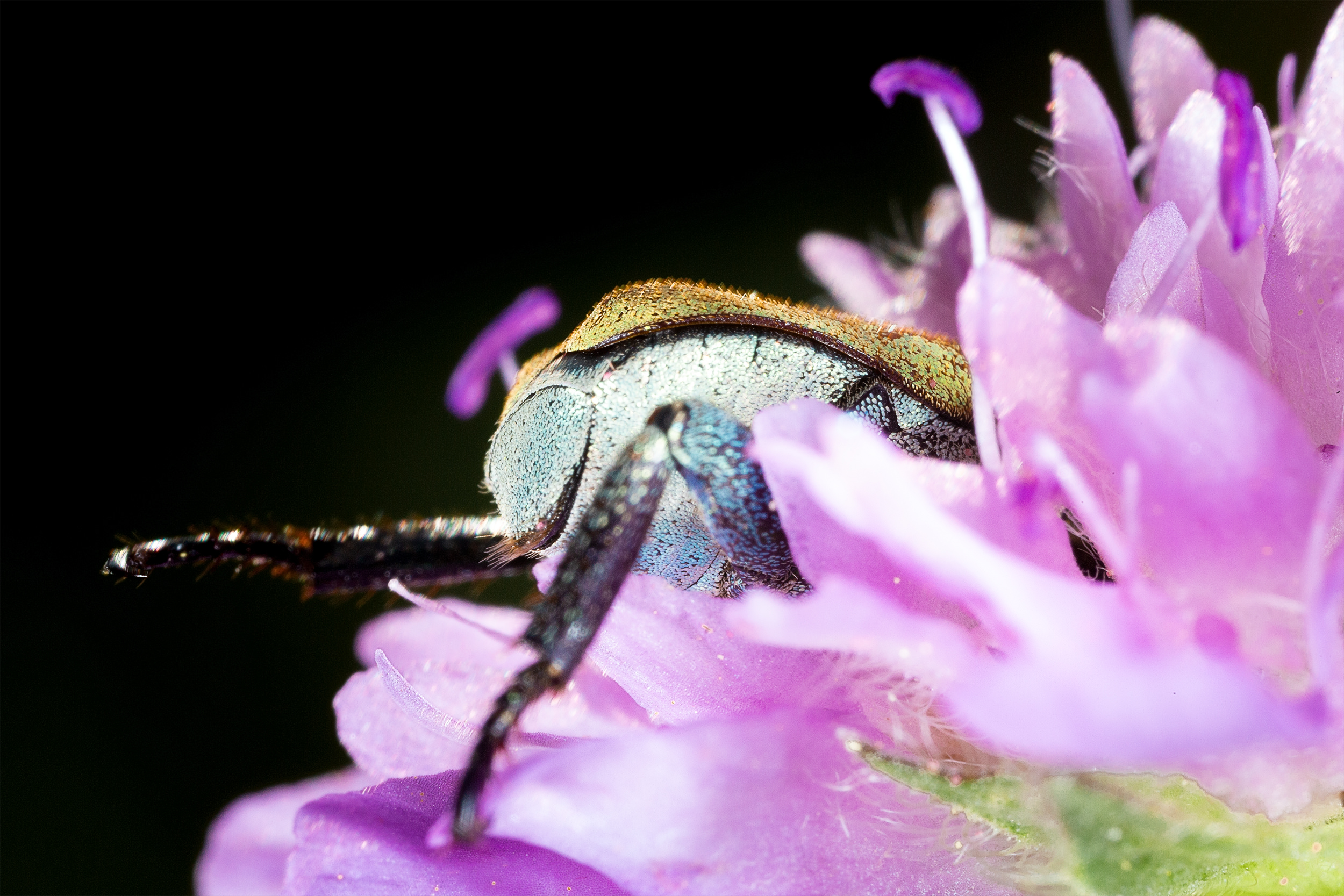 Ein Käfer vergräbt seinen Kopf in einer Blüte. Aufgenommen mit dem Canon MP-E 65mm Objektiv.
