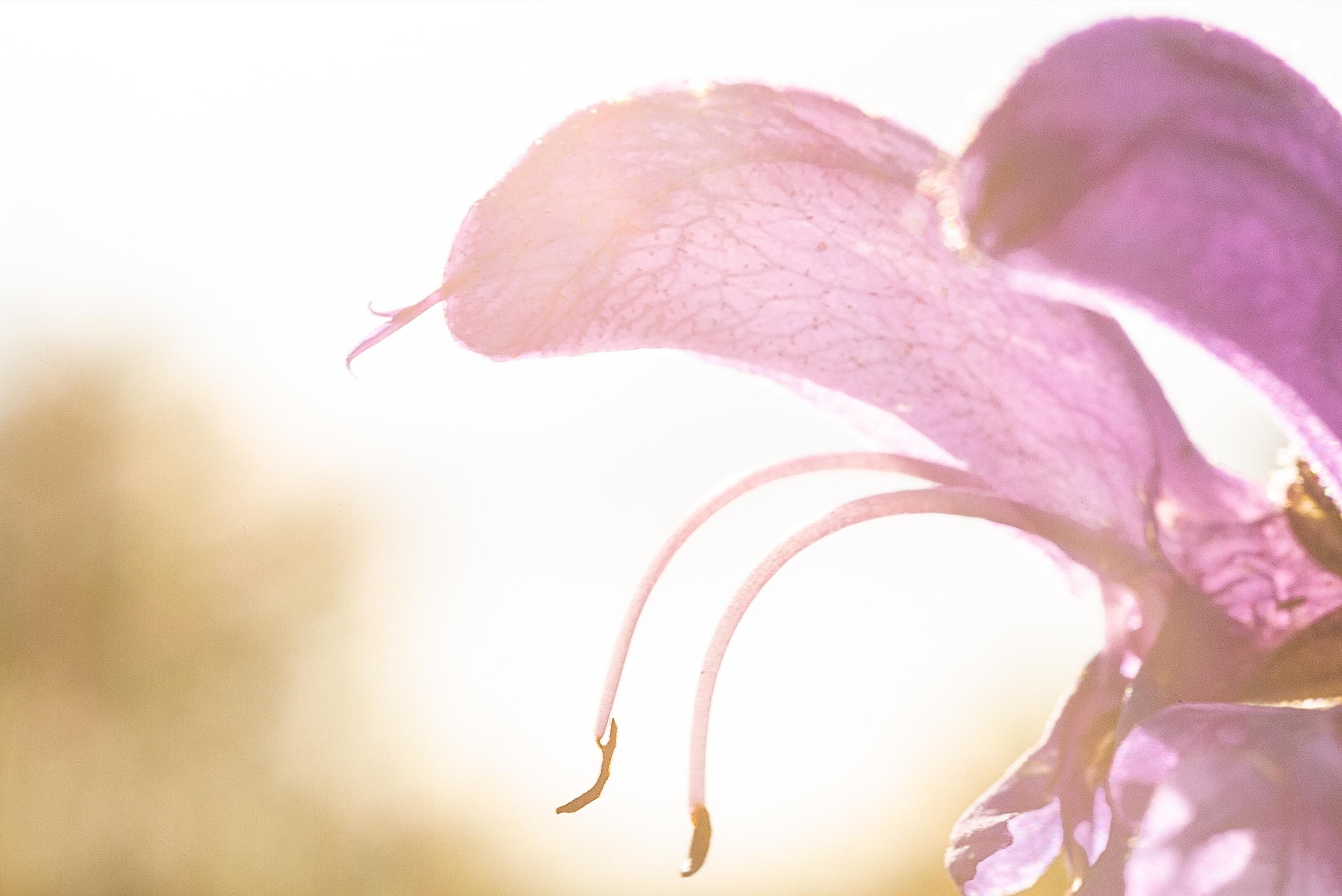 Detailaufnahme einer Orchidee und deren Blütenstempel im Gegenlicht. Aufgenommen mit dem Canon MP-E 65mm Objektiv.