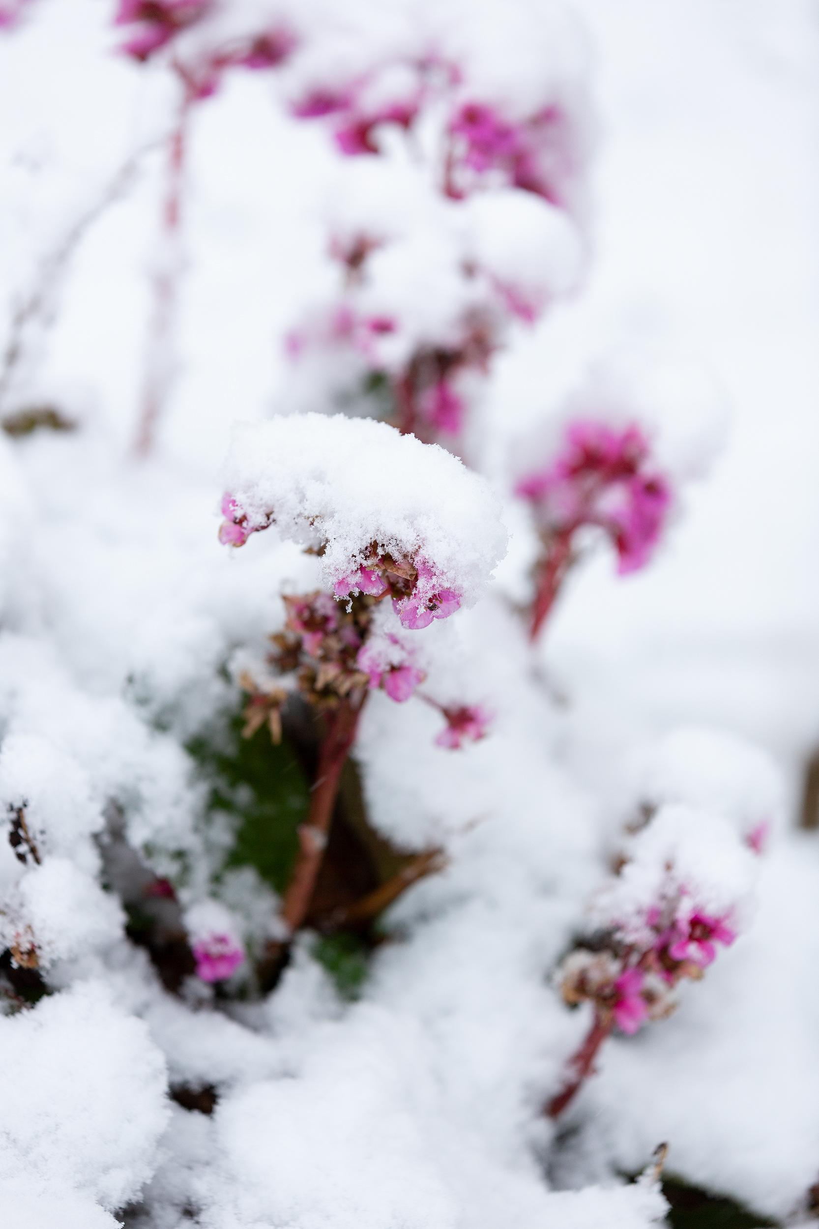 Verschneite Blüte nach dem ersten Schneefall auf der Schwäbischen Alb 2019
